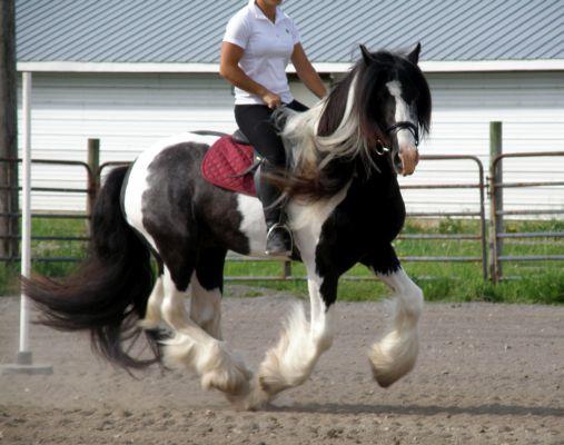 Chestnut Oak Farm Drum Horse For Sale Gypsy Horse Drum